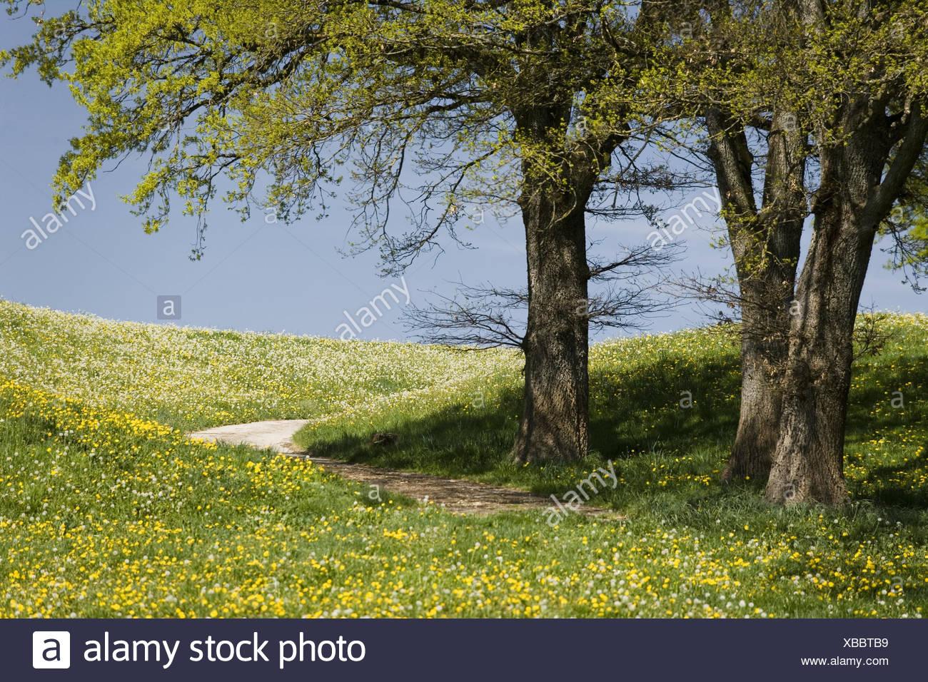 Flower Meadow Country Lane Oaks Detail Spring Hill Scenery
