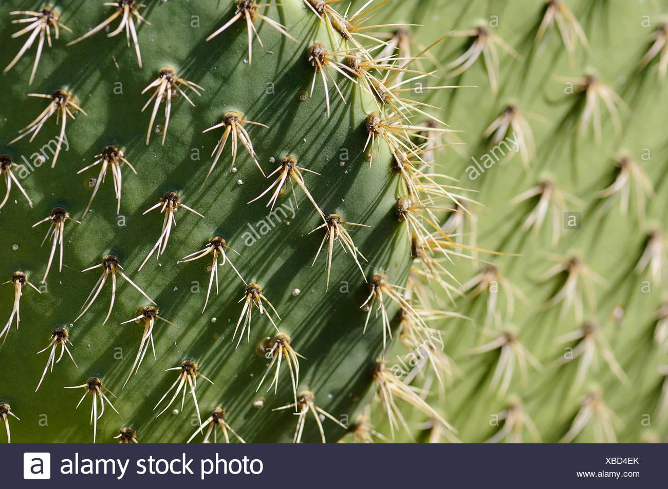 Coastal prickly pear cactus opuntia opuntia littoralis beauty in coastal prickly pear cactus opuntia opuntia littoralis beauty in nature cactus colour creative evergreen spring flowering summer flowering mightylinksfo
