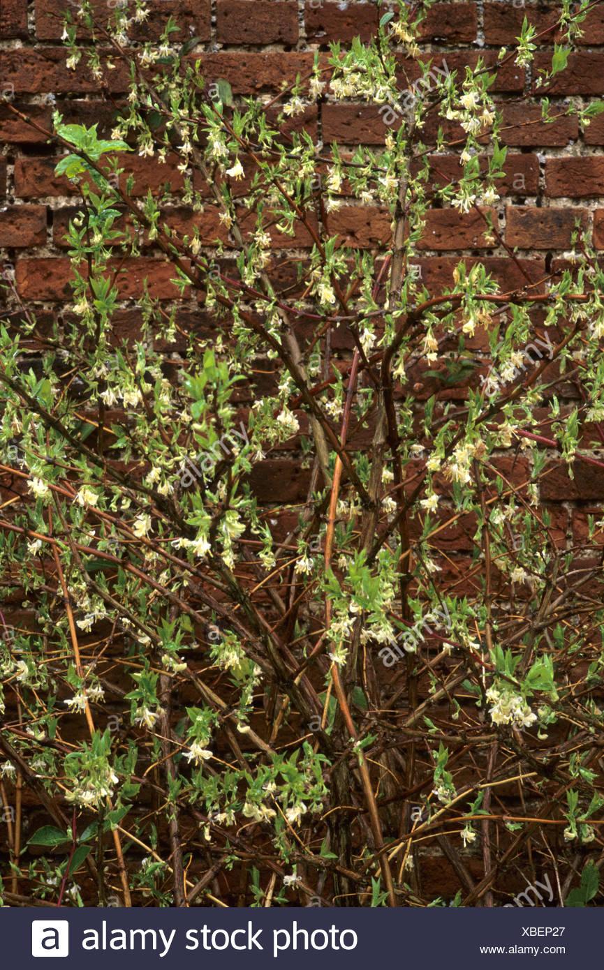 Lonicera Fragrantissima Honeysuckle Fragrant Cream White Winter
