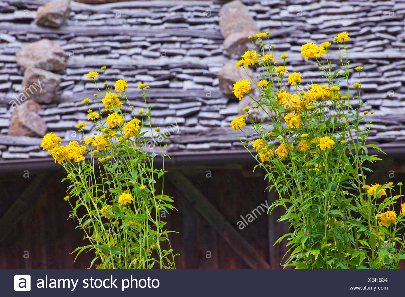 Two bushes of yellow flowers in front of shingle roof stock photo two bushes of yellow flowers in front of shingle roof mightylinksfo