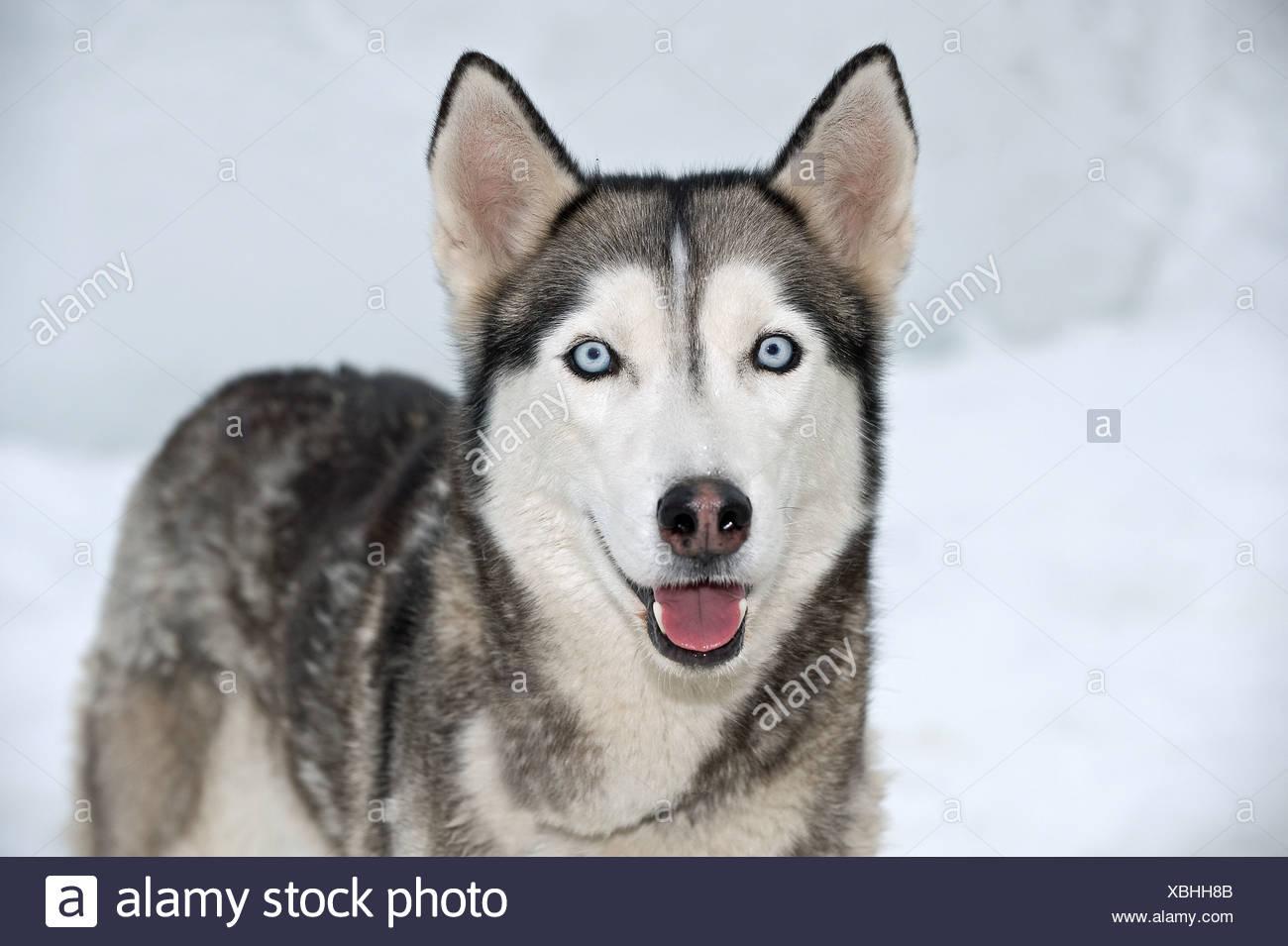 Siberian Husky Dog Standing Snow Stock Photo 282513851 Alamy