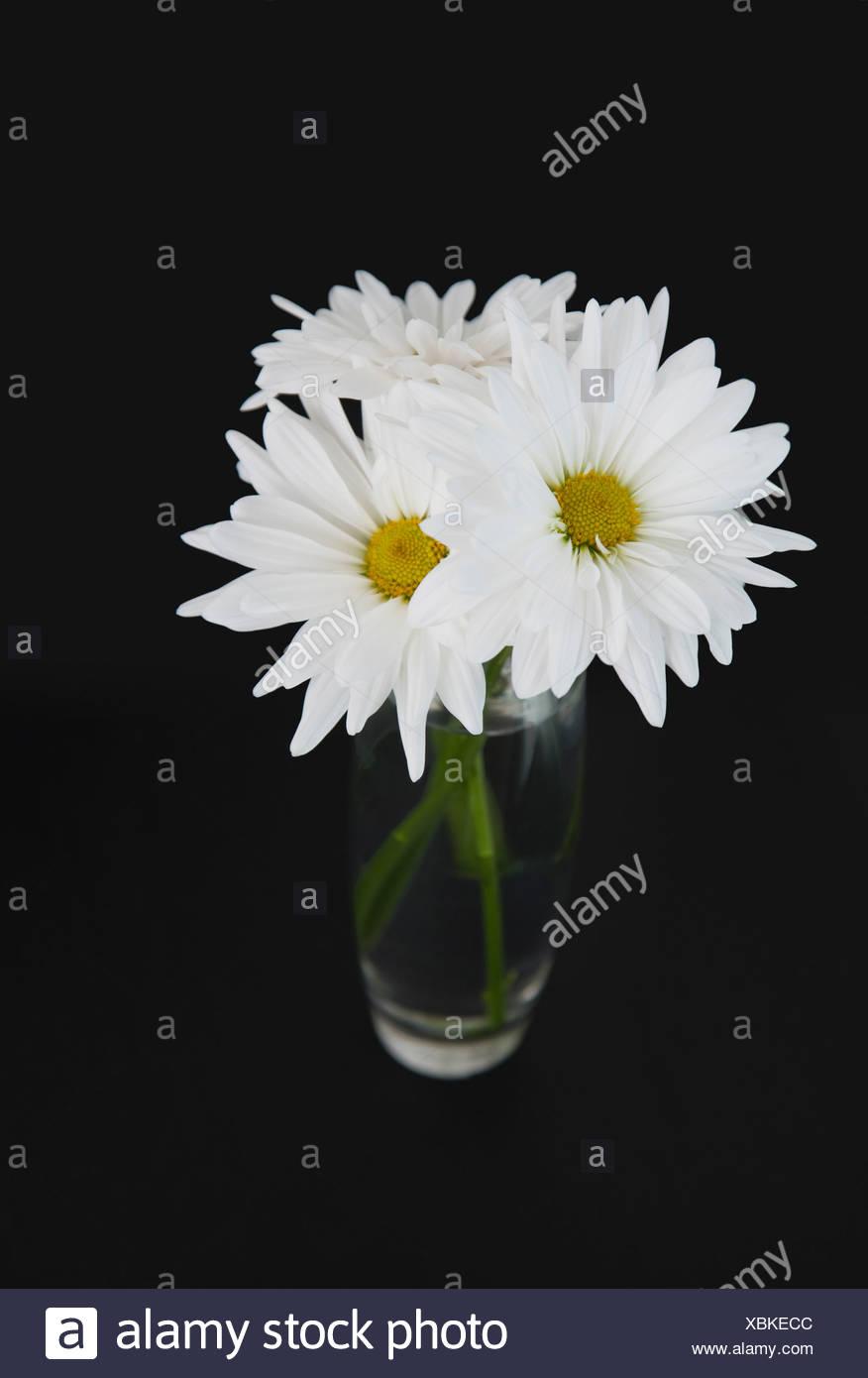 Daisies in vase stock photos daisies in vase stock images alamy white daisies in vase stock image reviewsmspy