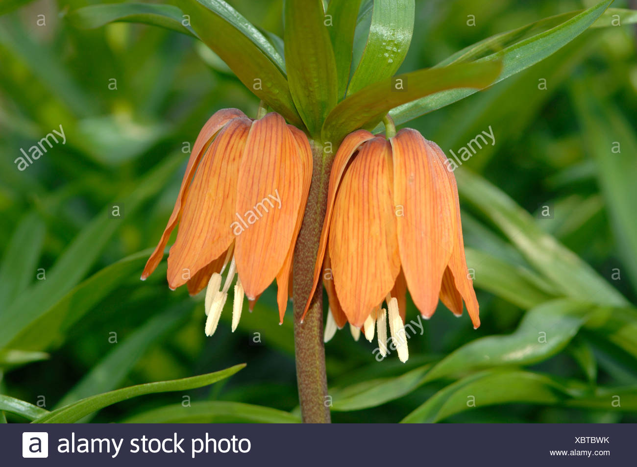 Crown Imperial Flowers Fritillaria Imperialis Stock Photo