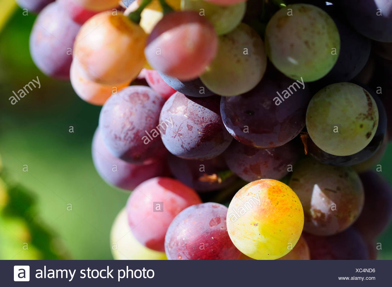 Grapes Augustine: photos and description of the variety, advantages and disadvantages, planting and care, reviews 44