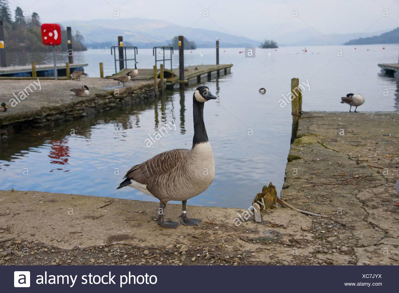 canada goose branta windermere