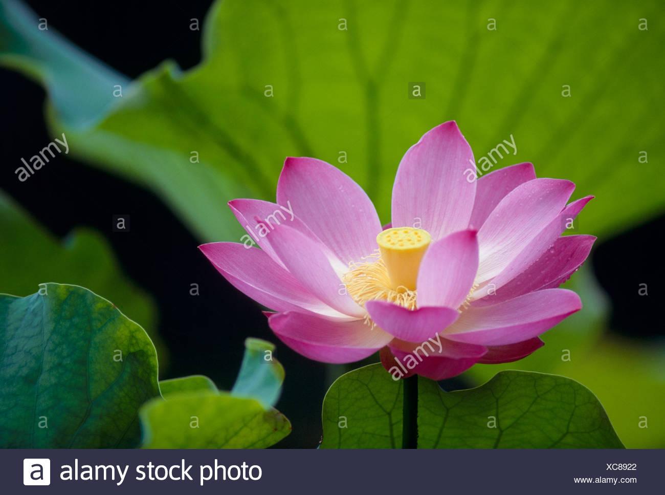Lotus flower stock photo 282924490 alamy lotus flower izmirmasajfo