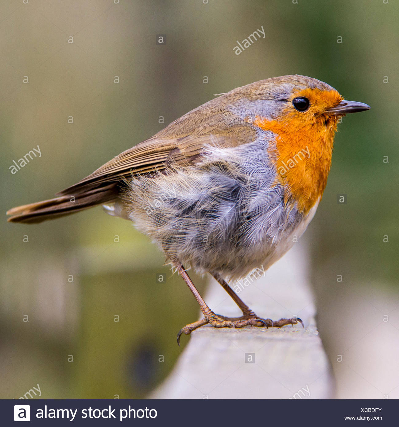 close up of red robin bird sitting on fence stock photo 282993871