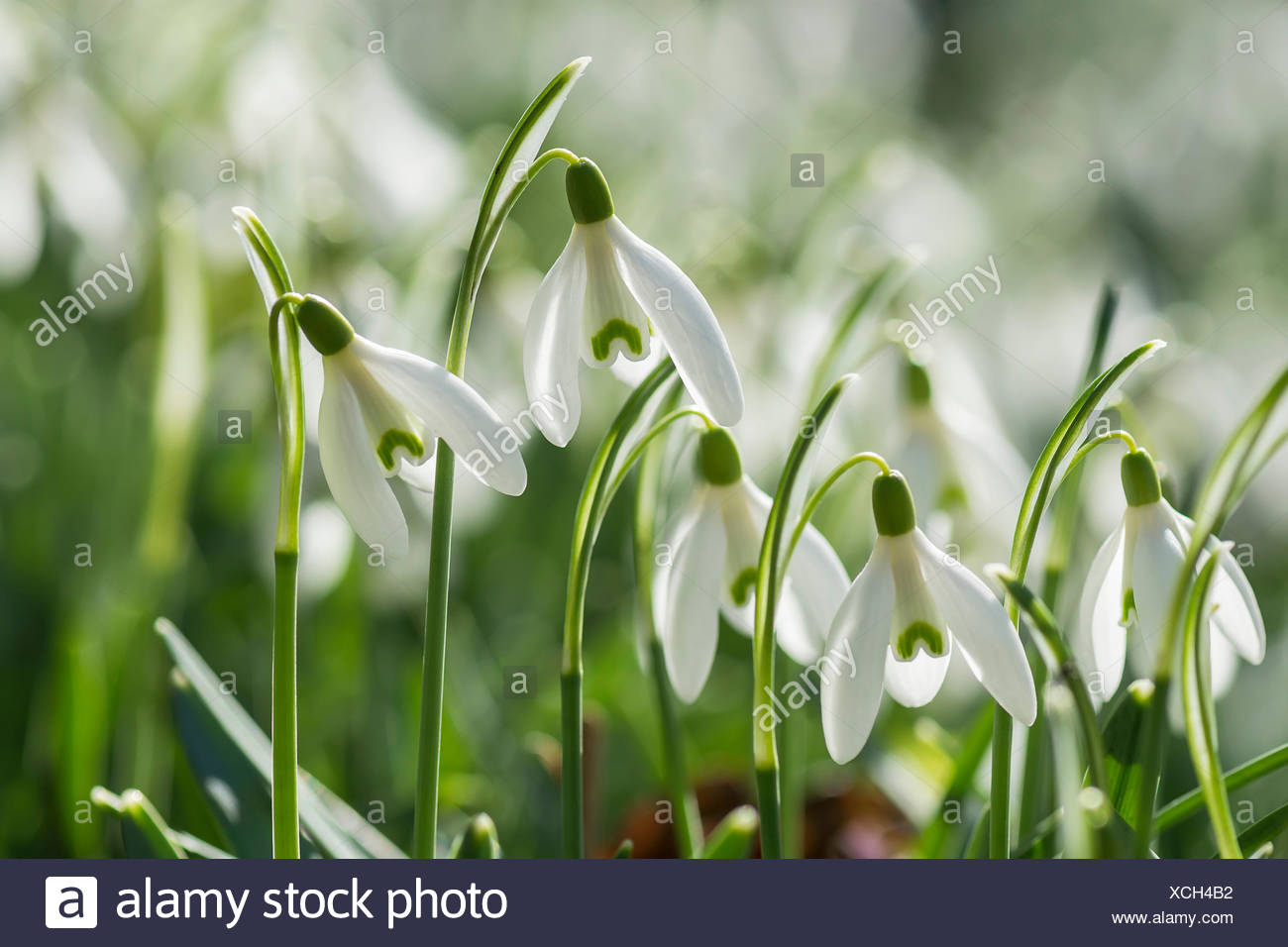 Snowdrop Common Snowdrop Galanthus Nivalis Small White Flowers
