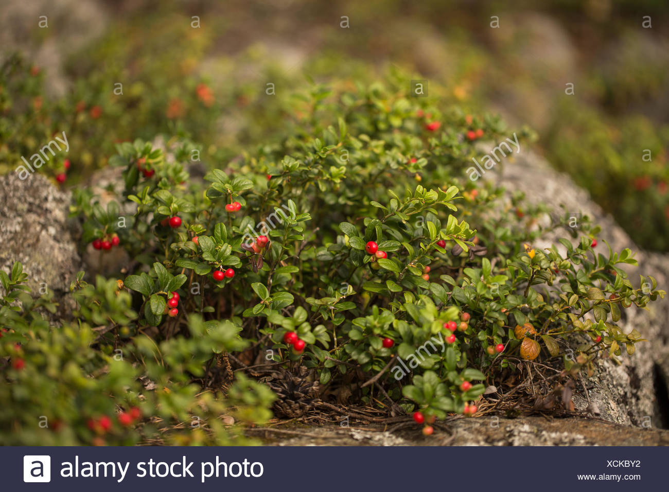 Lingonberry leaves: application in traditional medicine 71