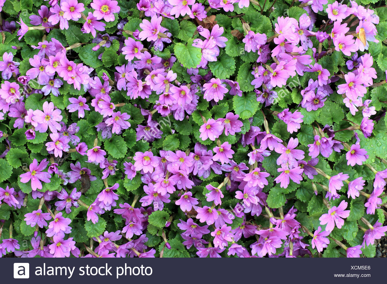 A Bunch Of Pink Flowers Growing On A Small Shrub Intense Colour