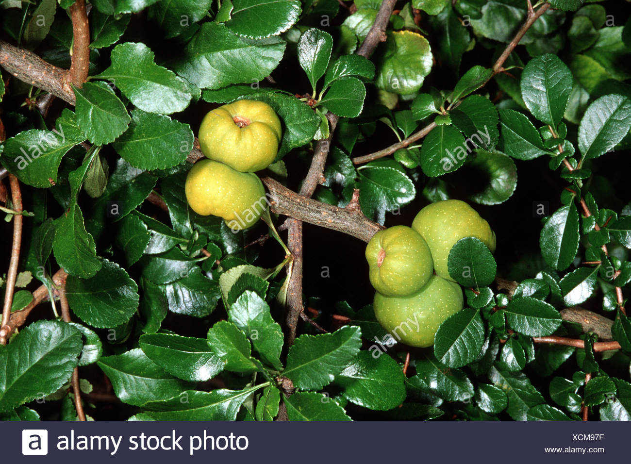 Quince stock photos quince stock images alamy japanese quince chaenomeles japonica choenomeles japonica blooming stock image biocorpaavc Image collections