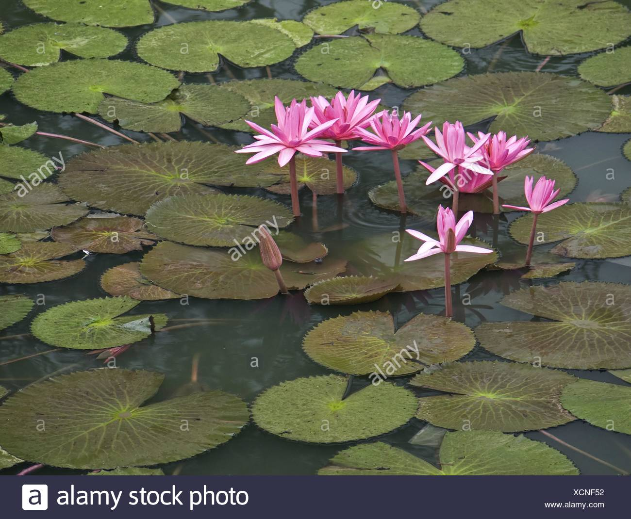 Asia Lily Viet Nam Vietnam Lotus Aquatic Plant Lotus Flower