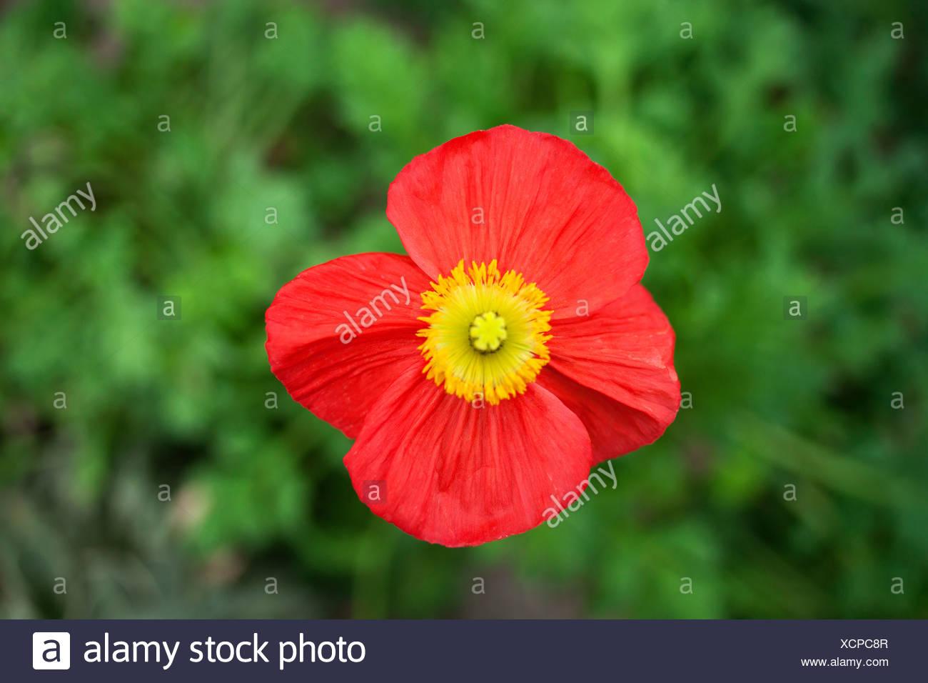 Close Up Of Poppy Flower Stock Photo 283234359 Alamy