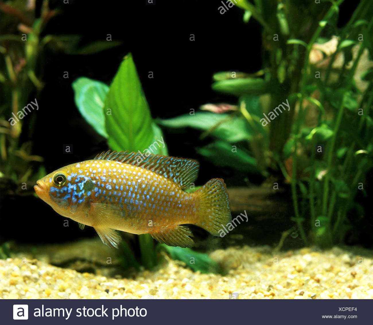 African Fish, hemichromis lifalili, Cichlid, Adult Stock Photo ...