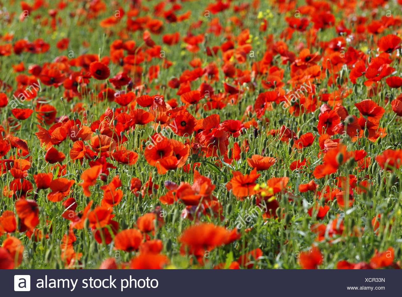 Meadow clap poppy seed papaver rhoeas blossom flower meadow meadow clap poppy seed papaver rhoeas blossom flower meadow clap poppy seed meadow poppy meadow flowers poppies plants poppy seed plants poppy mightylinksfo