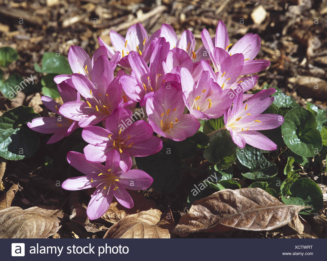 Meadow saffron colchicum autumnale plants flowers blossom autumn flower liliaceae lily plants crocus kind meadow saffron michelwurz winter breath hahnenklten hens poison autumn lily dog flower izmirmasajfo