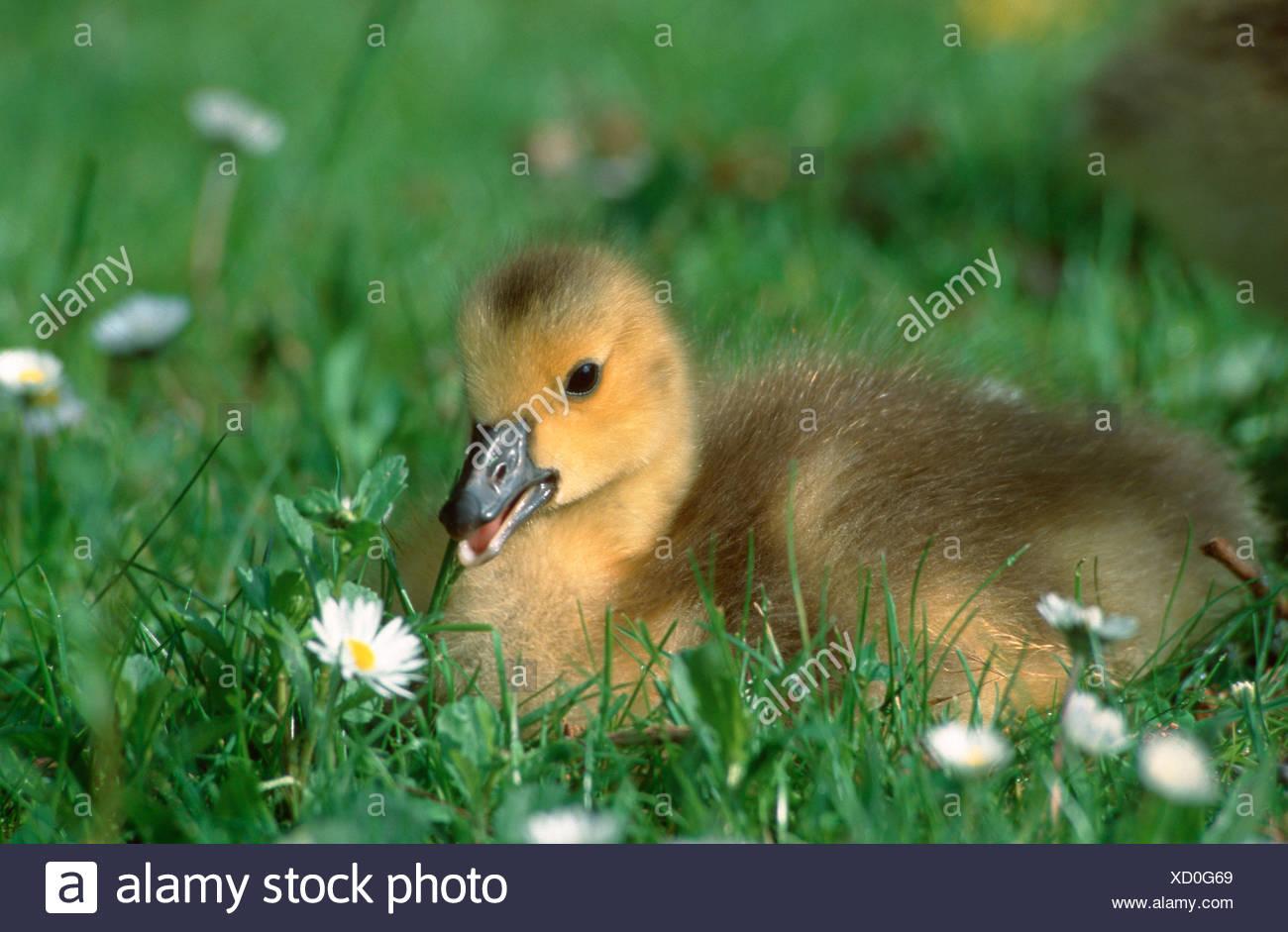 Canada Goose gosling North Rhine Westphalia Germany Branta canadensis Kanadagans Goessel Nordrhein Westfalen Deutschland