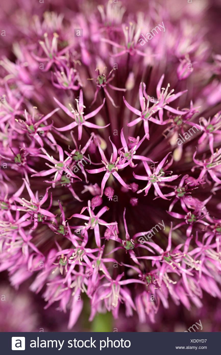 Allium Gladiator Close Up Detail Of Mass Of Pink Star Shaped