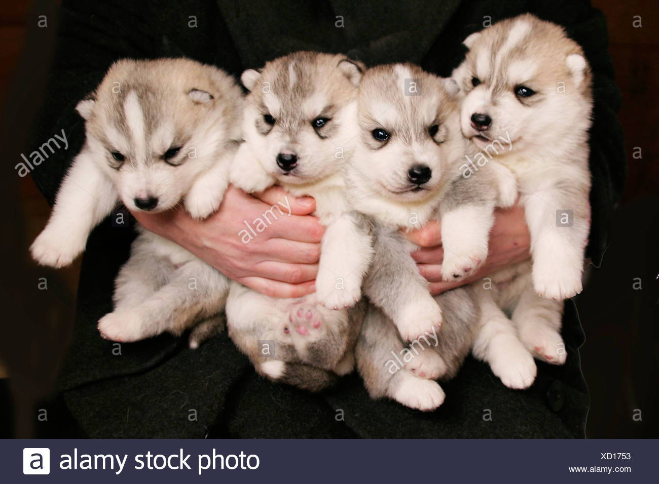 husky puppys stock photo 283383999 alamy