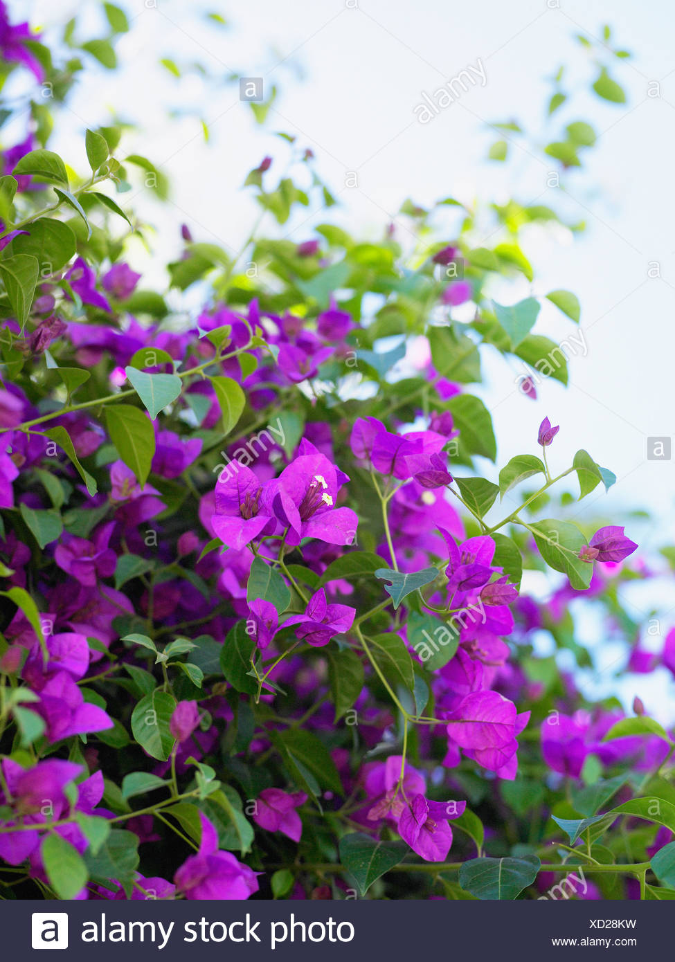 Clinging Vine With Purple Flowers South Africa Stock Photo