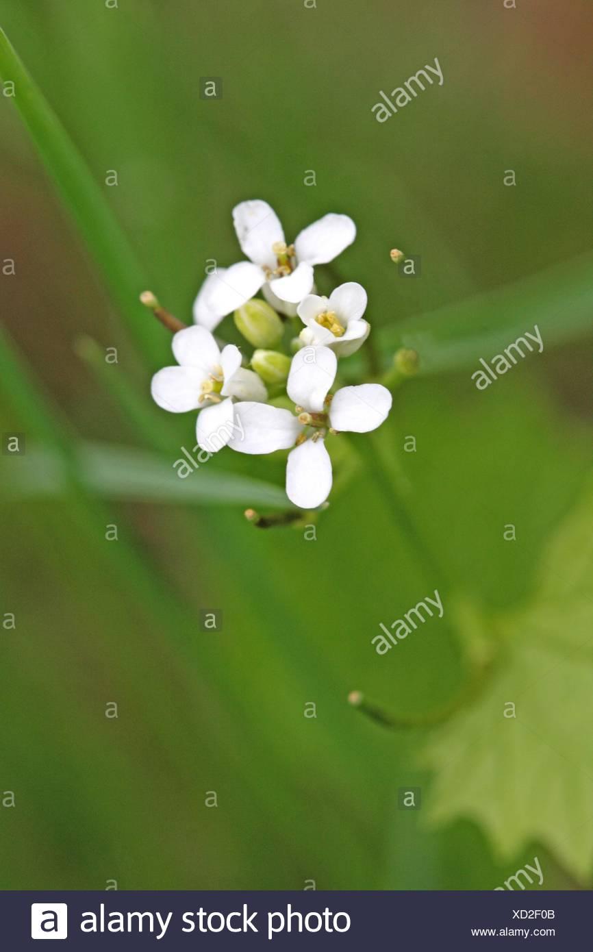 Wild radish raphanus raphanistrum jointed charlock white charlock wild radish raphanus raphanistrum jointed charlock white charlock herb with distinct white flower of four petals variable mightylinksfo