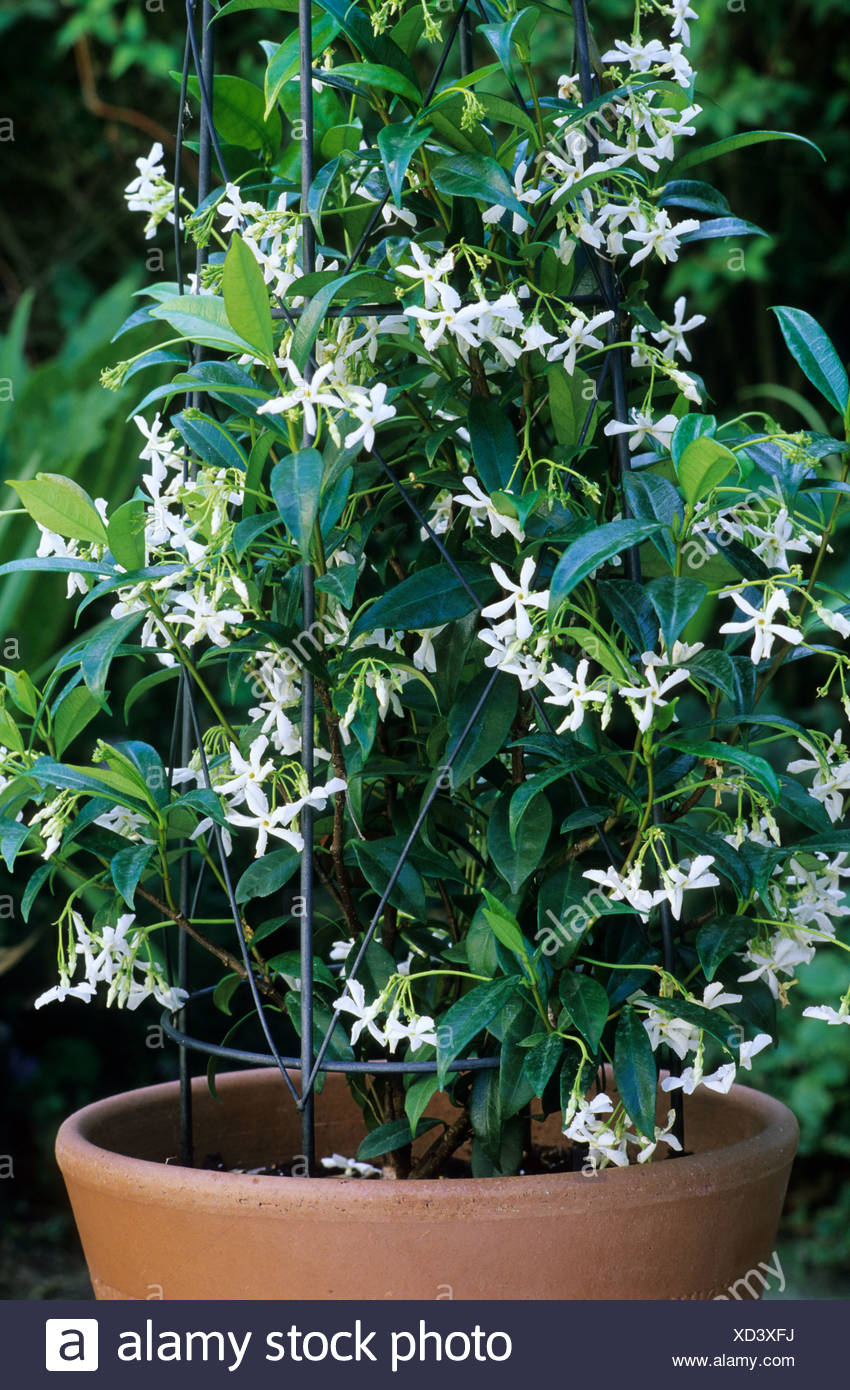 Trachelospermum jasminoides in container star jasmine fragrant trachelospermum jasminoides in container star jasmine fragrant white flowers planter pot garden plant jasmines containers mightylinksfo
