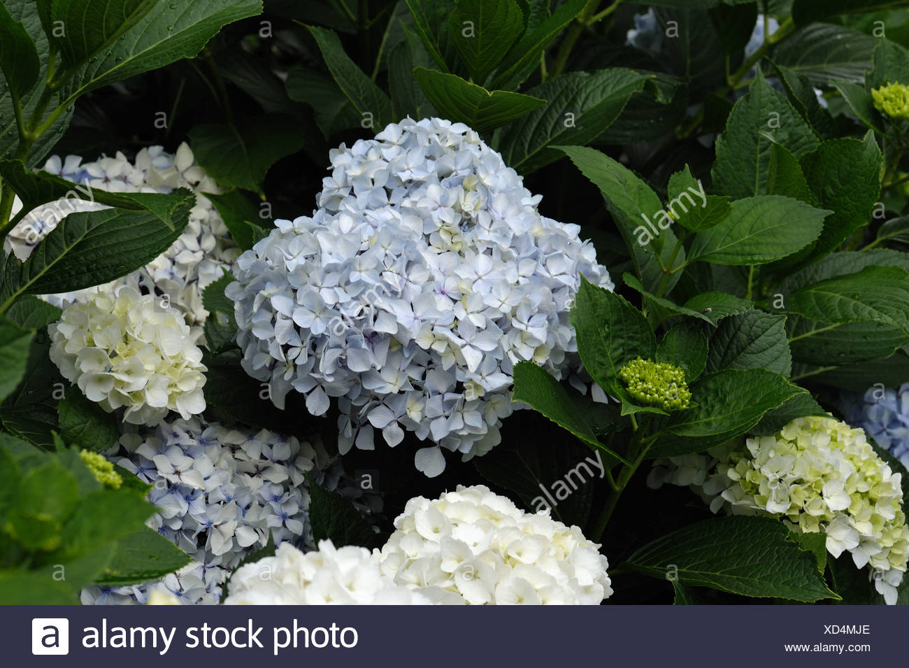 Pale Blue And White Flowers On Hydrangea Macrophylla Inm The