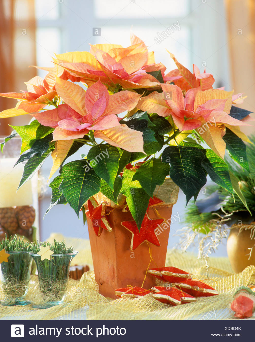 Pink poinsettia \'Cortez Candy\' with Advent decorations Stock Photo ...