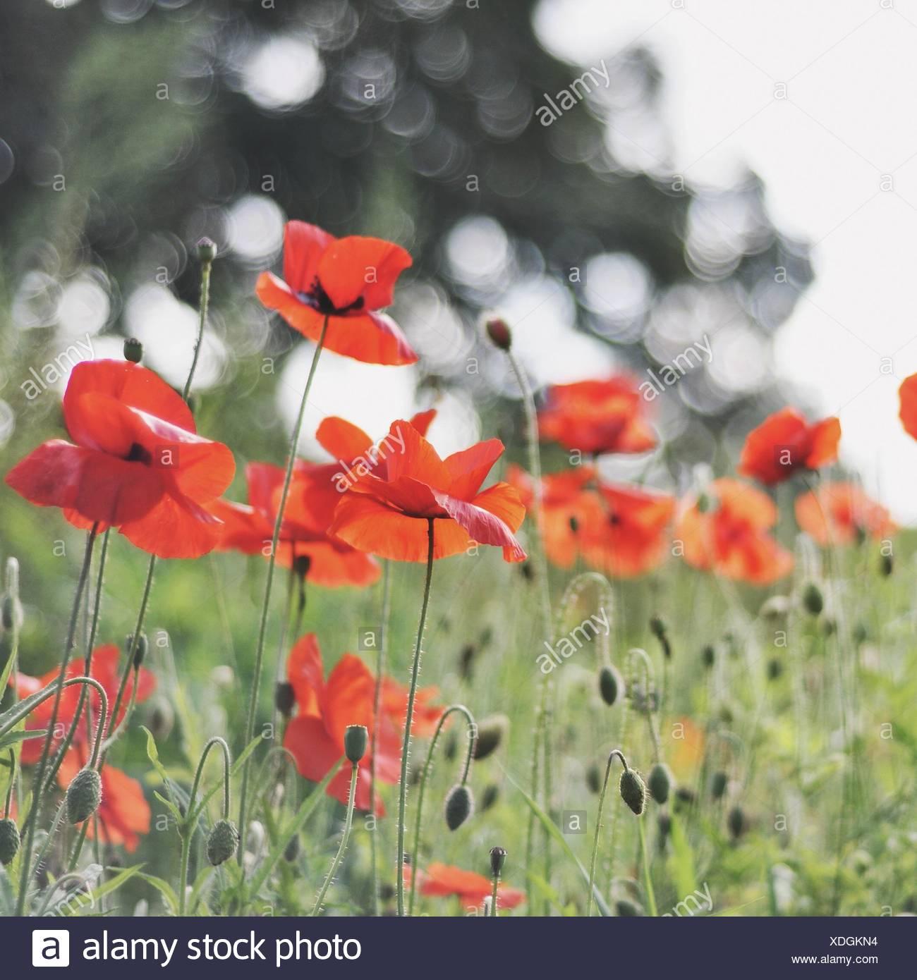 Red Poppy Flowers In A Field England Uk Stock Photo 283723136 Alamy