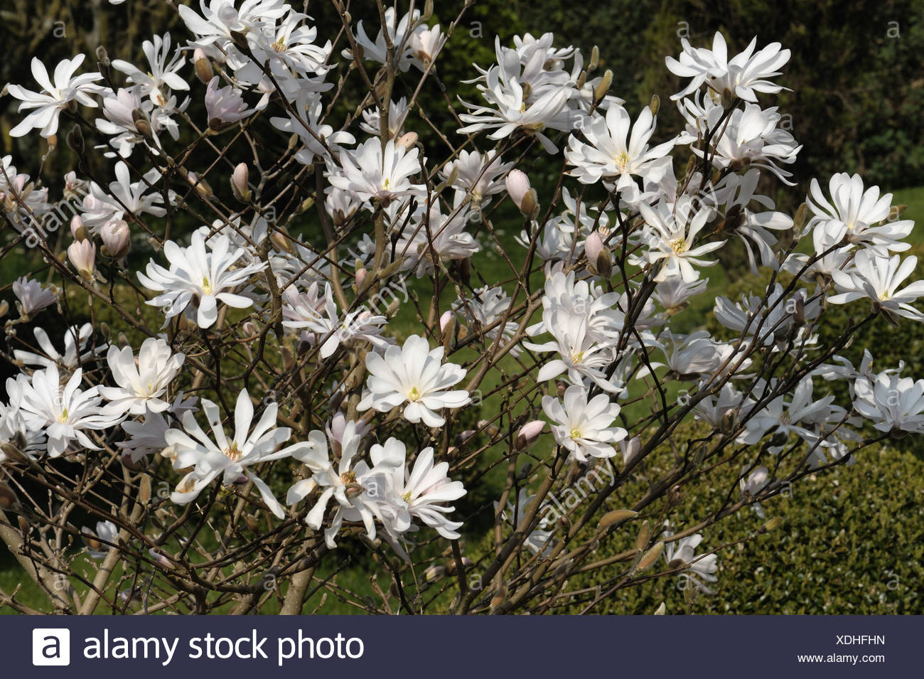 Flowers Of Magnolia Stellata A Small White Spring Flowering