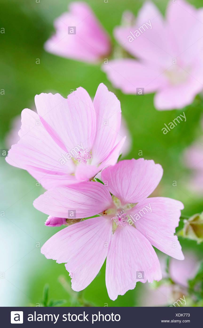 Kashmir Mallow Lavatera Cachemiriana Delicate Pale Pink Flowers