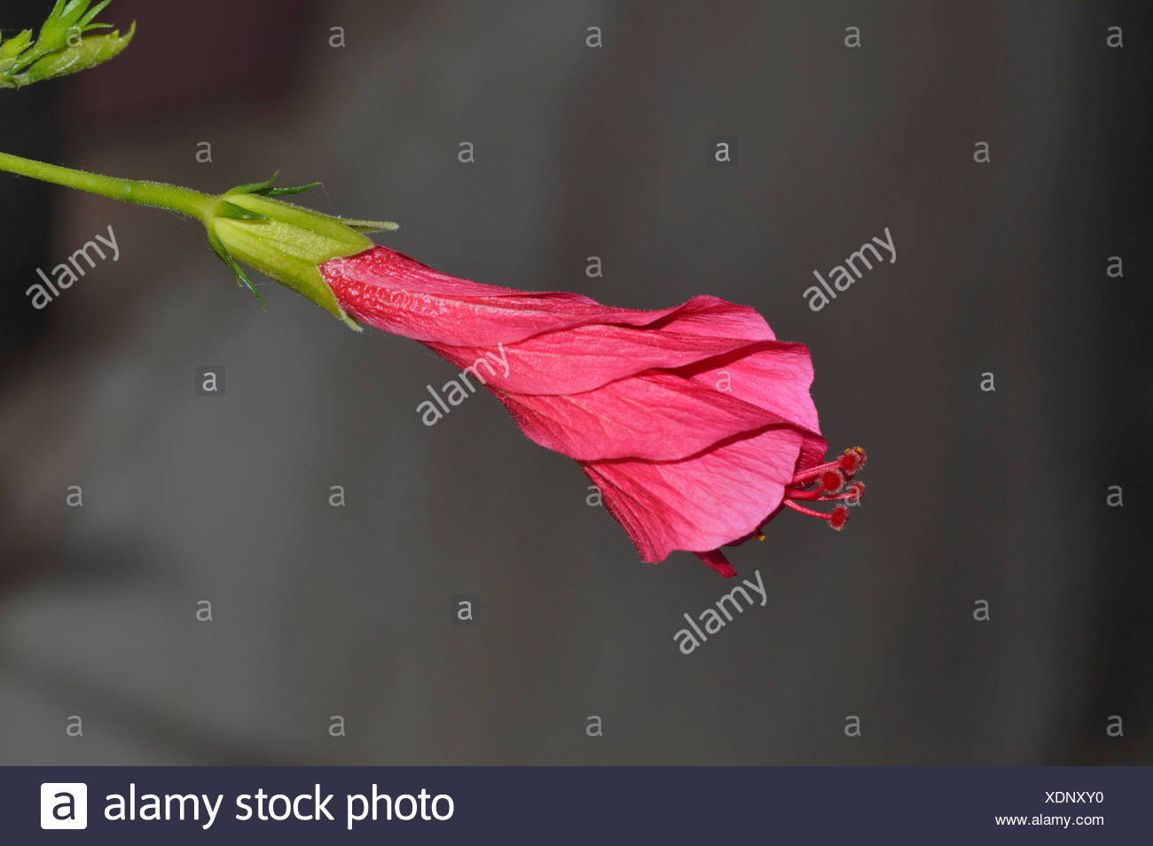 Bud Of A Hibiscus Pune Stock Photo 283838548 Alamy