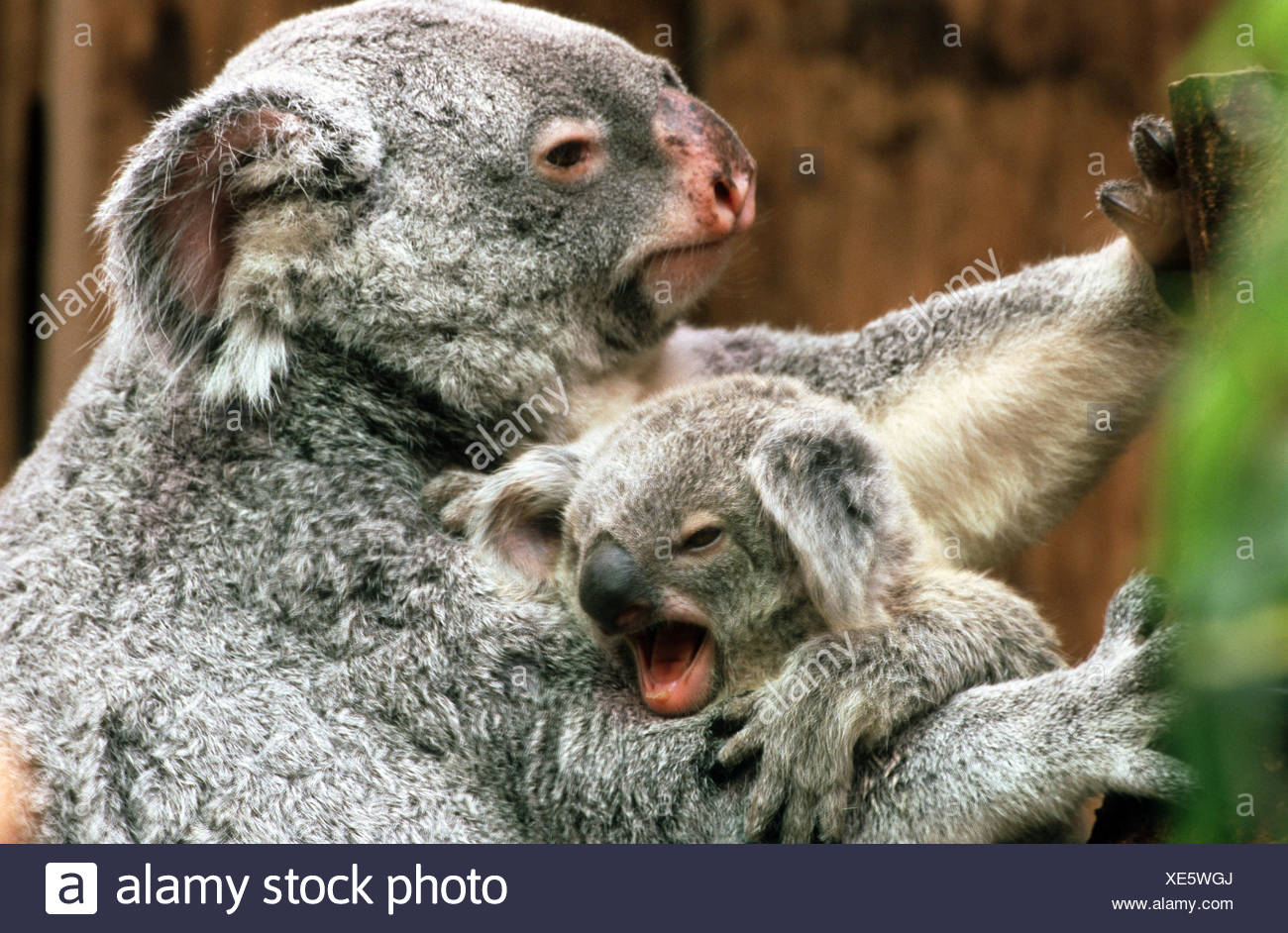 Image result for images for koala bear