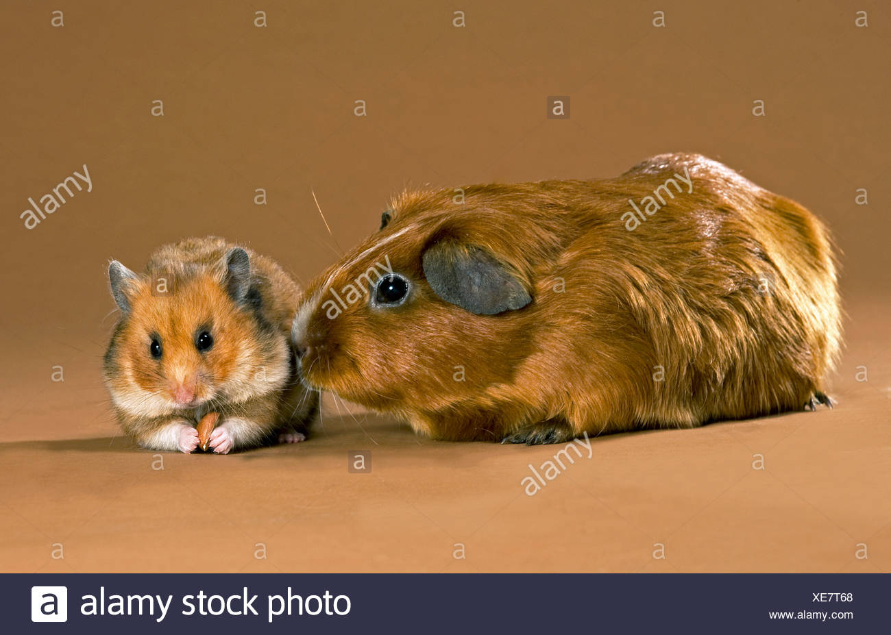 Golden guinea pig stock photos golden guinea pig stock images animal friendship short haired guinea pig and golden hamster stock image jeuxipadfo Gallery
