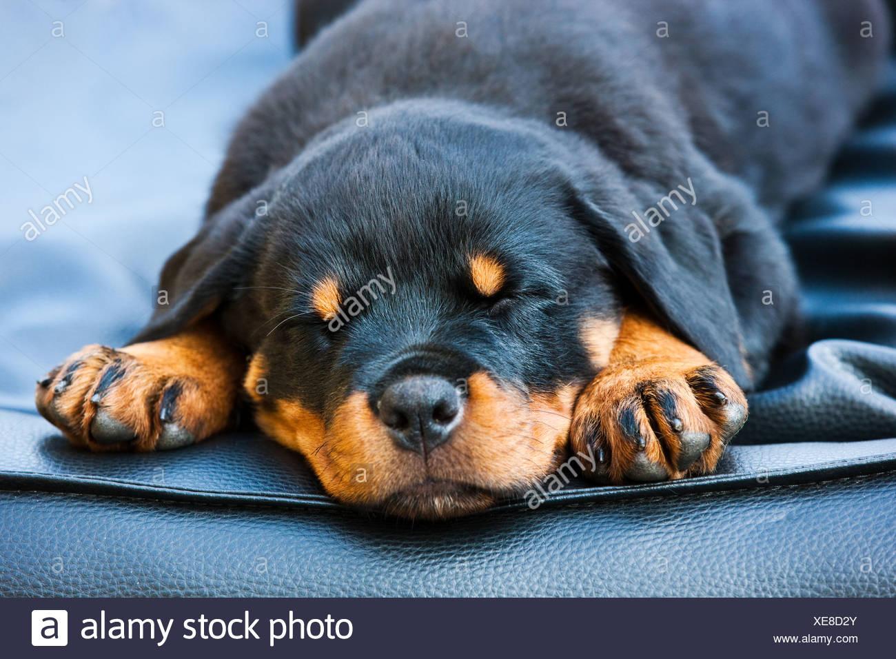 Rottweiler Puppy Dog Sleeping In A Dog Bed North Tyrol Austria
