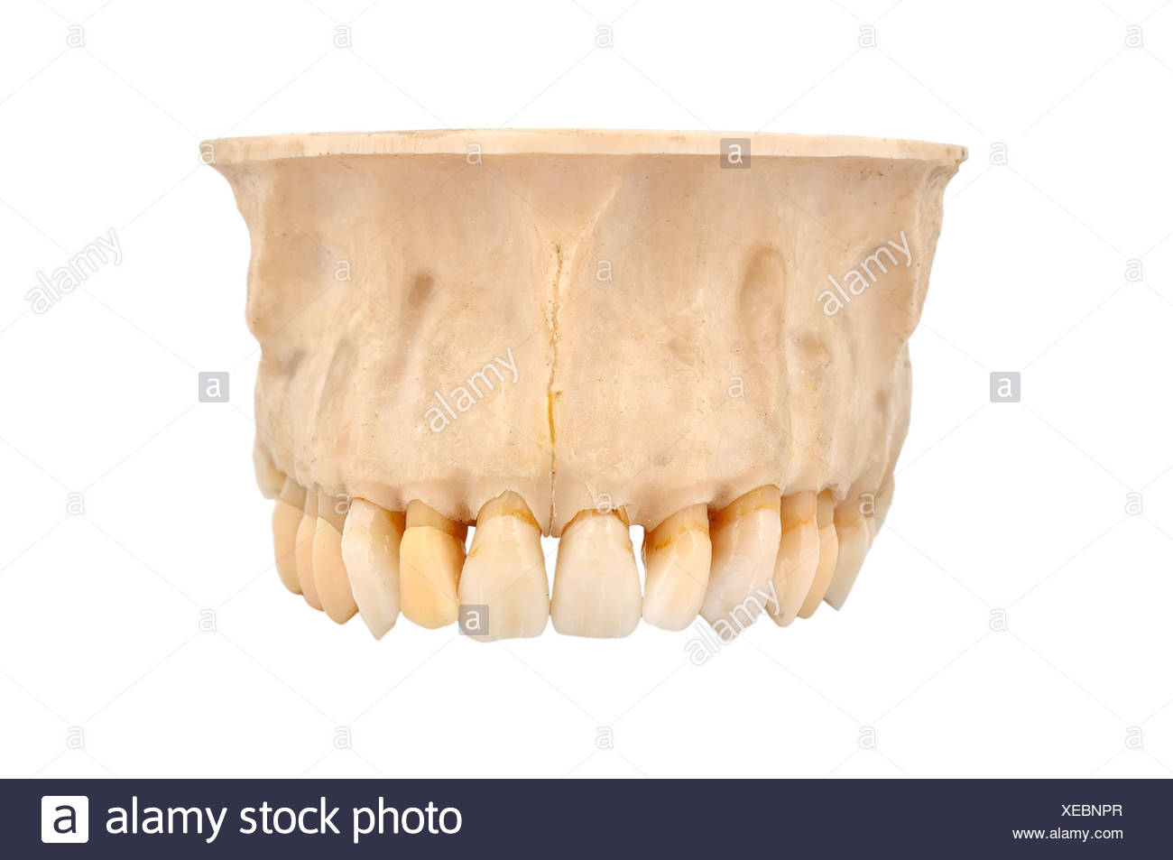 Upper jaw bone cut out stock images pictures alamy upper jawbone stock image biocorpaavc Image collections