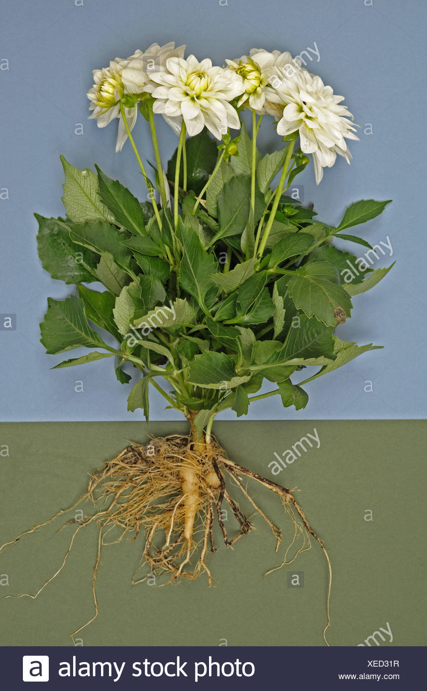 Dahlia Plant With White Flowers Leaves And Roots Exposed To Show