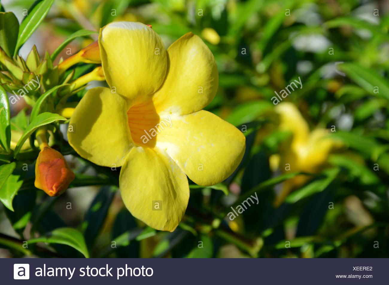 Allamanda or golden trumpet beautiful yellow flower golden allamanda or golden trumpet beautiful yellow flower golden trumpet vine mightylinksfo