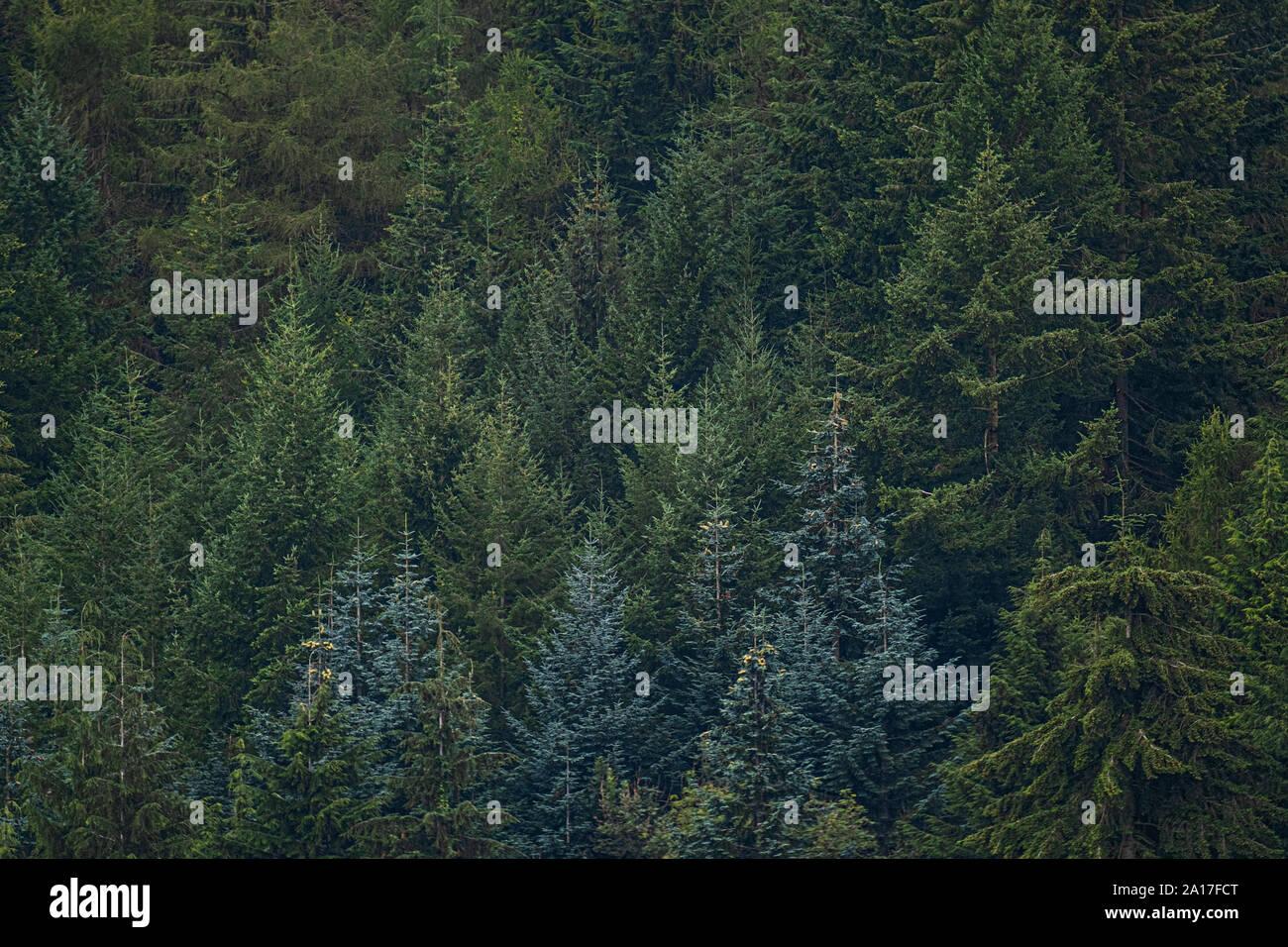Gwydir Wald/Gwydyr Forest, ein 72,5 km alten Wälder, die die Stadt von Bettws y Coed, Clwyd, North Wales Snowdonia encirles. 1937 Gwydir war ein National Forest Park benannt, und seit 1993 das Kernland der Wald hat den besonderen Status der Forest Park zuerkannt worden Stockfoto