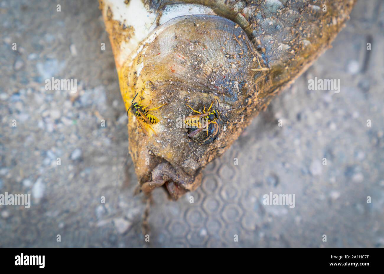 Nur Karpfen am Strand und hungrigen Wespen Lügen verfangen auf, es zu versuchen, es zu essen. Stockfoto