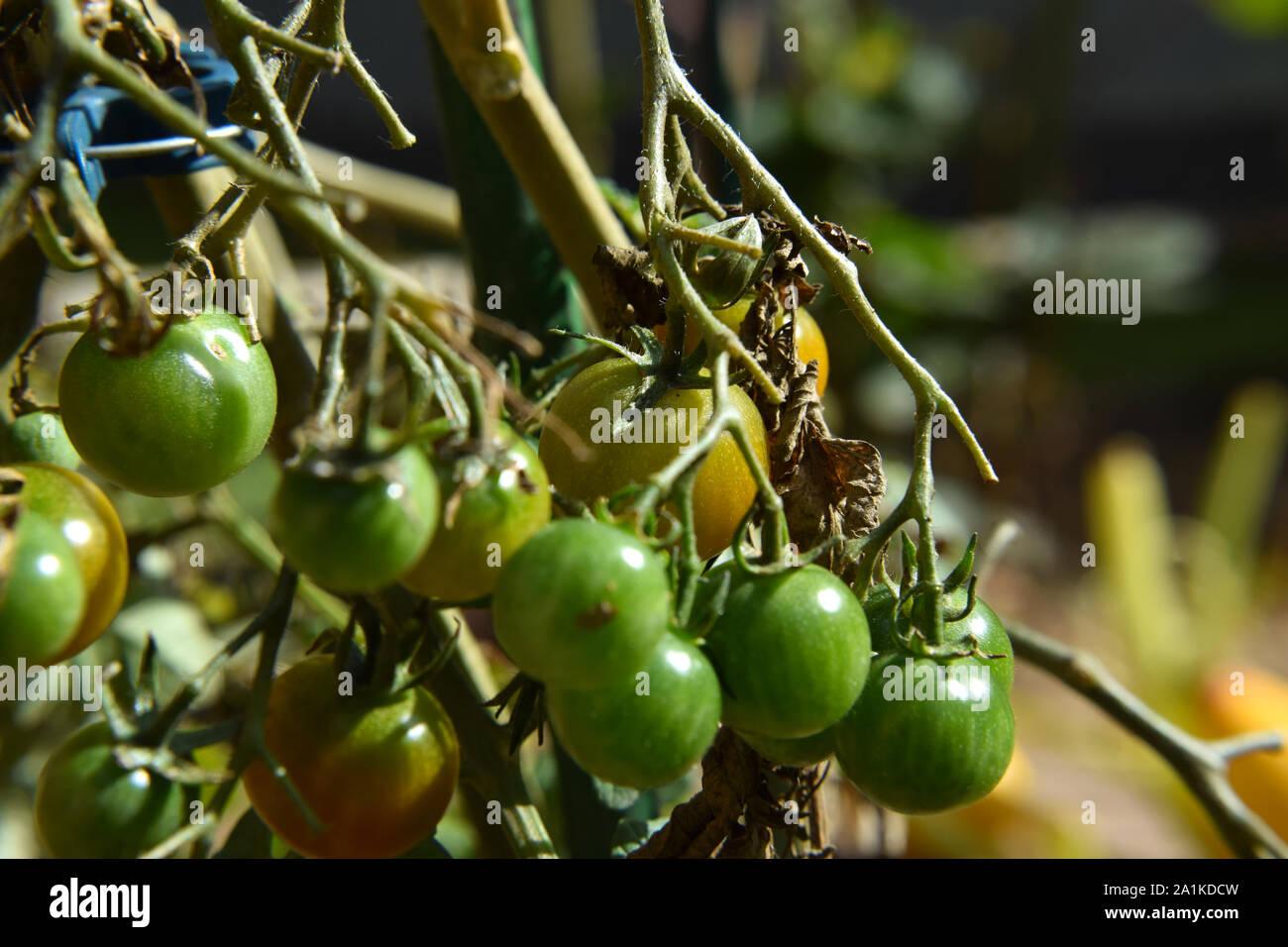 Wachsende Tomaten im eigenen Garten - Umwelt und gesunde Ernährung Stockfoto