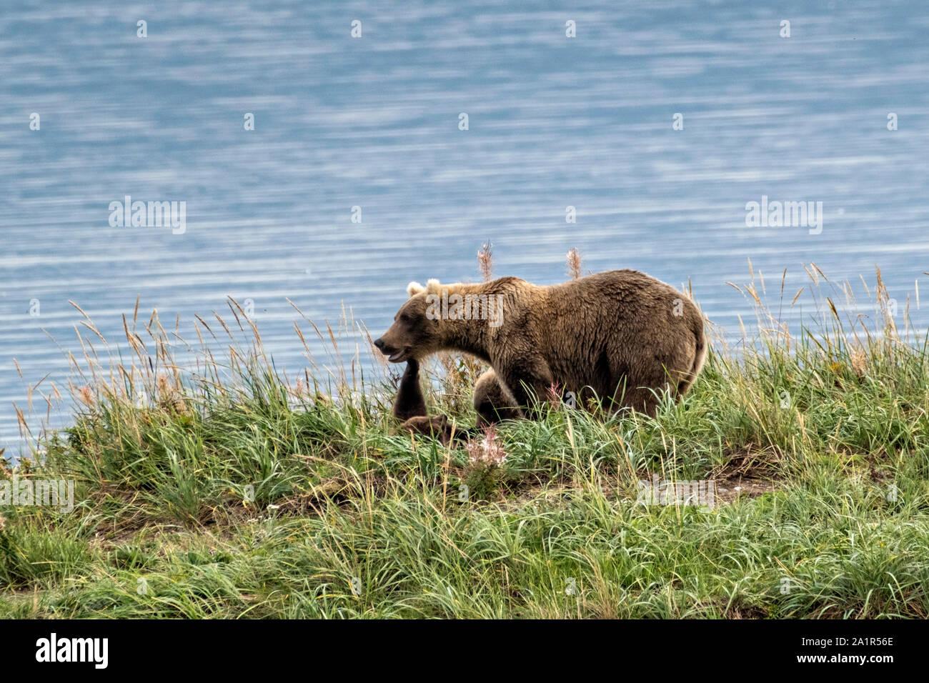 Ein Braunbär Jährling cub reicht bis seine Mutter zu berühren, wie sie auf dem Gras von naknek Lake im Katmai National Park September 16, 2019 in der Nähe von King Salmon, Alaska entspannen. Der Park erstreckt sich über die Weltgrößte Salmon Run mit fast 62 Millionen Lachse Migration durch die Ströme, die einige der größten Bären der Welt RSS-Feeds. Stockfoto