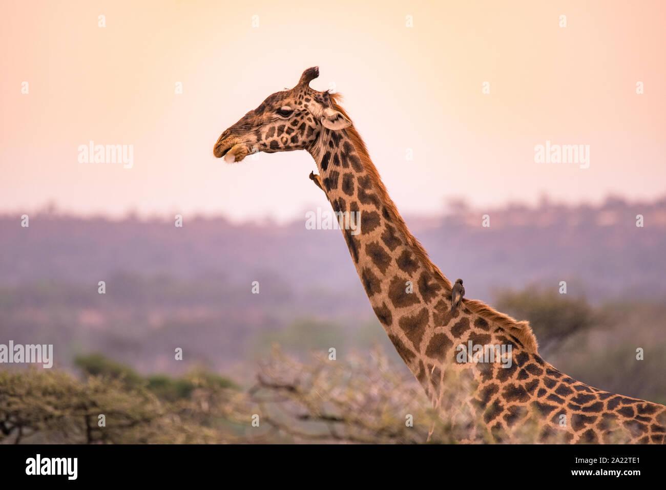 Einsame Giraffen in der Savanne der Serengeti National Park bei Sonnenuntergang. Wilde Natur von Tansania - Afrika. Safari Reiseziel. Stockfoto