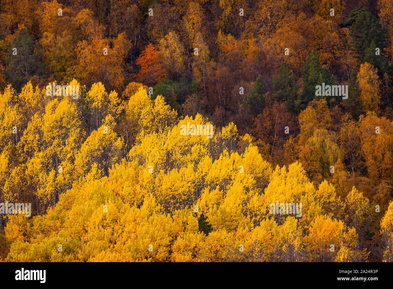 Erstaunlich Herbst bunte Laub an in Dombås Dovre Kommune, Nord-Norwegen, Norwegen. Die gelbe Bäume sind gemeinsame Aspen, Populus tremula. Stockfoto