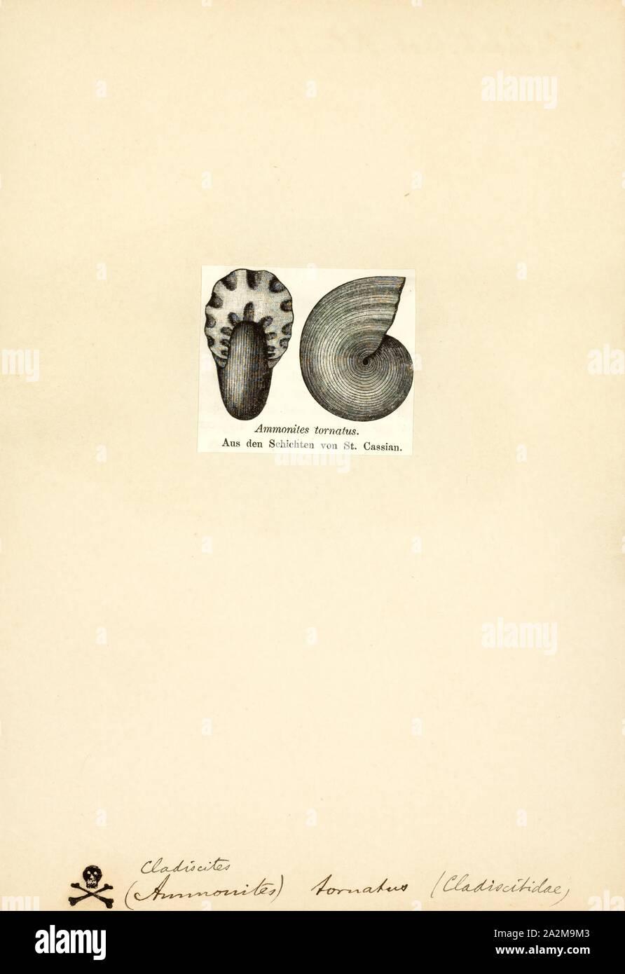 Cladiscites, Drucken, Cladiscites ist eine ausgestorbene Gattung der Kopffüßer in der ammonoid Ceratitida Ordnung. Diese nektonic Fleischfresser während der Trias lebte, von Carnian zu Rhätische Alter Stockfoto