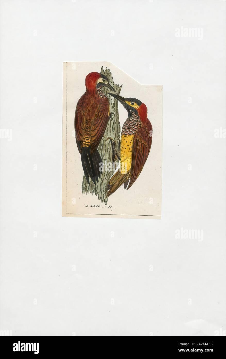 Colaptes rivolii, Drucken, den Crimson-mantled Specht (Colaptes rivolii) ist eine Vogelart in der Familie der Spechte (PICIDAE). Es war früher in der Gattung Piculus platziert, verschoben auf die Gattung Colaptes Nach der mitochondrialen DNA-Sequenzierung. Ihr wissenschaftlicher Name, rivolii, ehren Französische Ornithologe François Victor Masséna, zweiter Herzog von Rivoli und Dritten Fürsten von essling., 1820-1860 Stockfoto