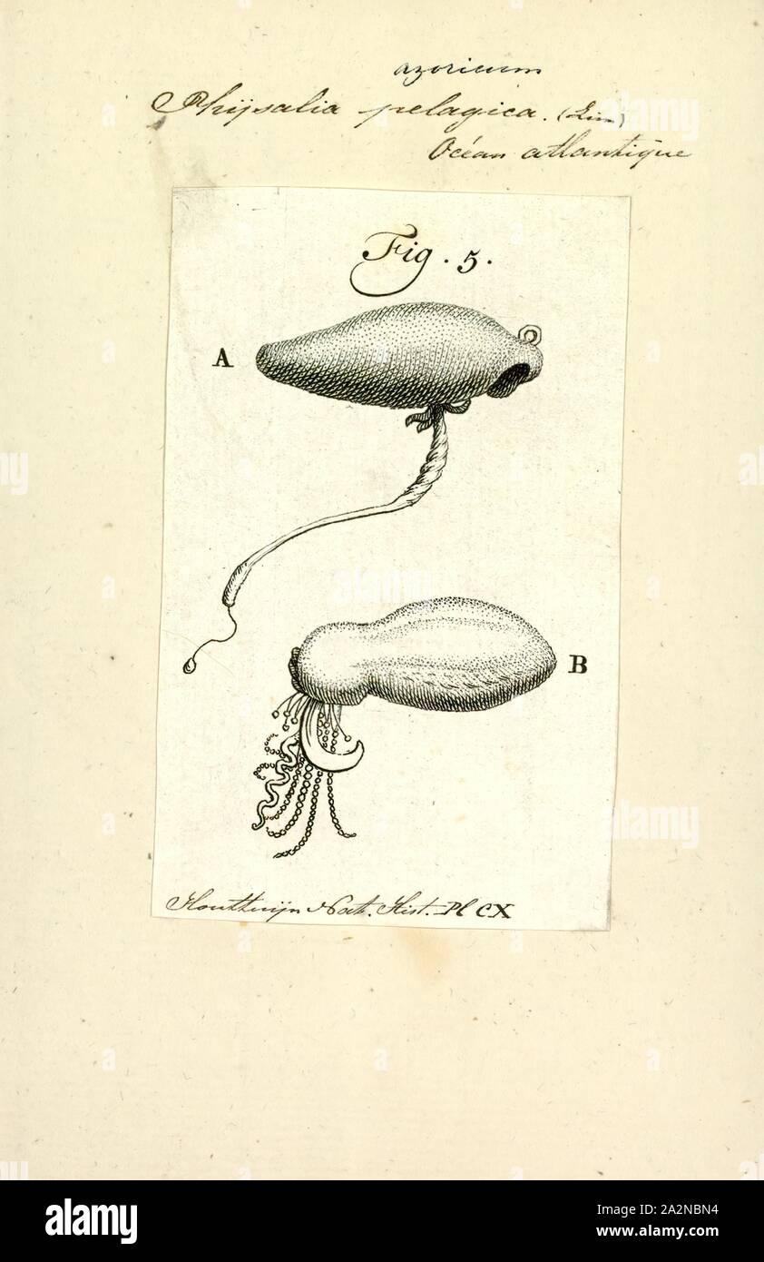 Physalia pelagica, Drucken, die Portugiesische Man o' War (Physalia Physalis), auch als Mann-von-Krieg bekannt, ist ein Marine hydrozoan in der Atlantischen, Indischen und Pazifischen Ozean gefunden. Sie ist eine von zwei Arten in der Gattung Physalia, zusammen mit der Pazifischen Man o' War (oder Australische blaue Flasche), Physalia Utriculus. Physalia ist die einzige Gattung in der Familie Physaliidae. Seine lange Tentakel liefern einen schmerzhaften Stich, die giftige und machtvoll genug Fische zu töten und sogar Menschen. Trotz seiner Erscheinung, die Portugiesische Man o' War ist keine echte Quallen aber ein siphonophore, das ist nicht wirklich ein einziges Stockfoto