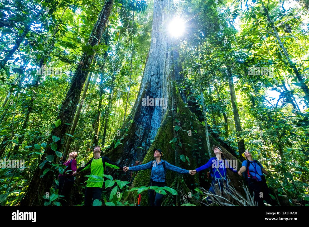 Ecuador, Tena, immersion Leben Erfahrungen mit der Waoranis des Rio Nushino, Baumwolle, Kapok, ceibo oder ceiba pentandra, brüderlichen Kreis um seinen Stamm Stockfoto