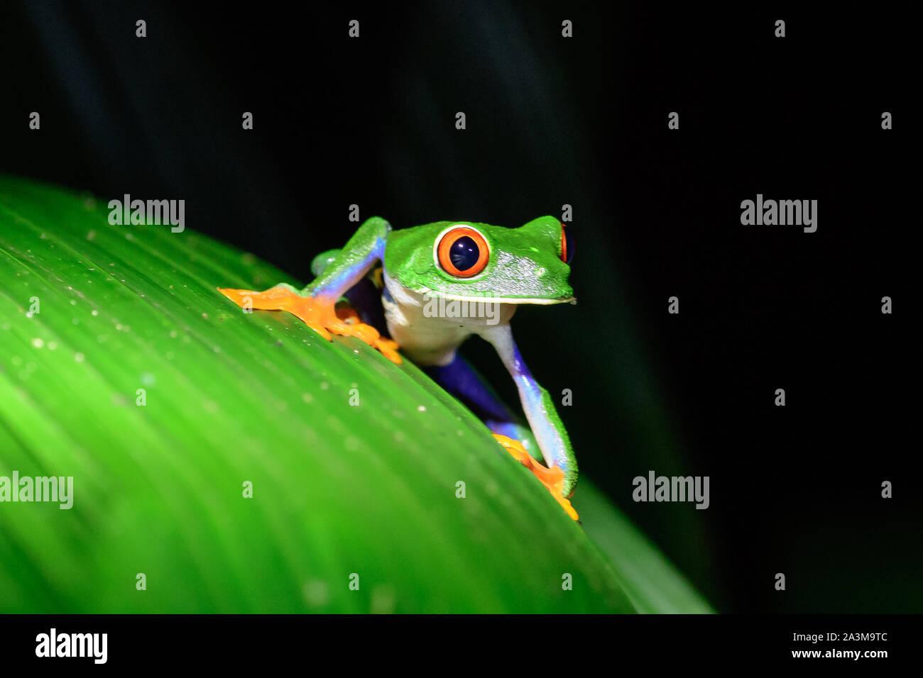 Red Eyed Tree Frog auf einer Anlage Stockfoto