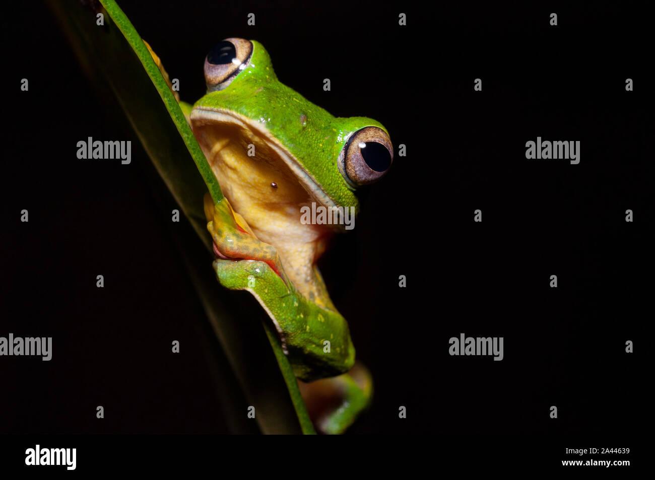 Rhacophorous Malabaricus oder Malabar Segelfliegen Frosch an Amboli, Maharashtra, Indien Stockfoto